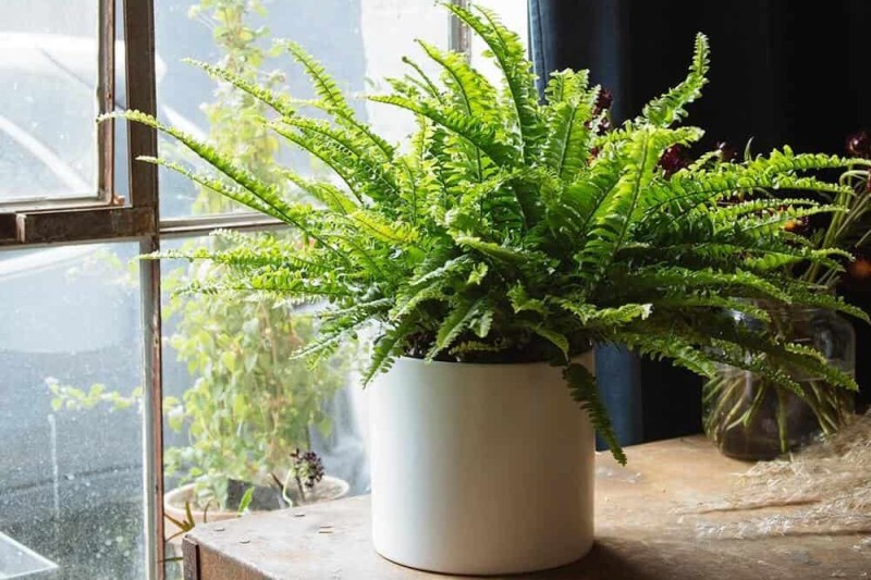 Boston ferns are pet-friendly and easy to care for.