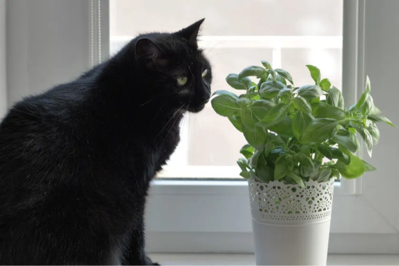 Basil is not only great for your indoor decor, but is a delicious herb that is safe for your pets to eat.