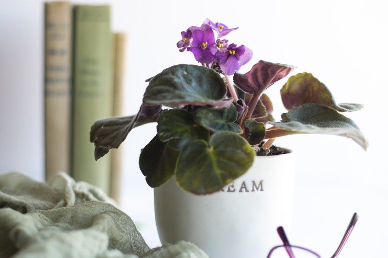 The African Violet is a beautiful flowering plant and is safe for your cats and dogs.