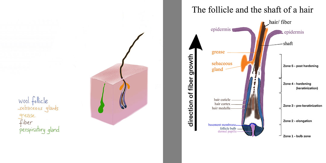 "upgraded-version-of-the-drawing-""The-follicle-and-the-shaft-of-a-hair"".-no-citation"