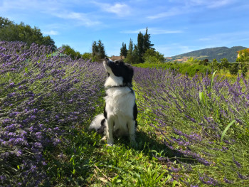Curious About Essential Oils For Dogs? Here's What You Need to Know