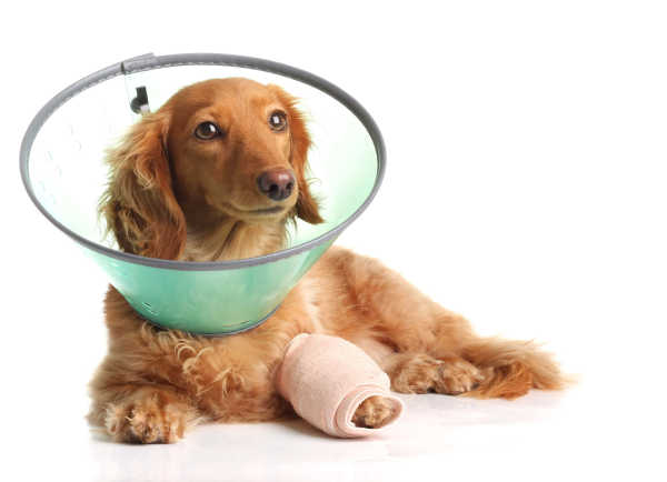 postoperative dog in a cast and a cone after surgery