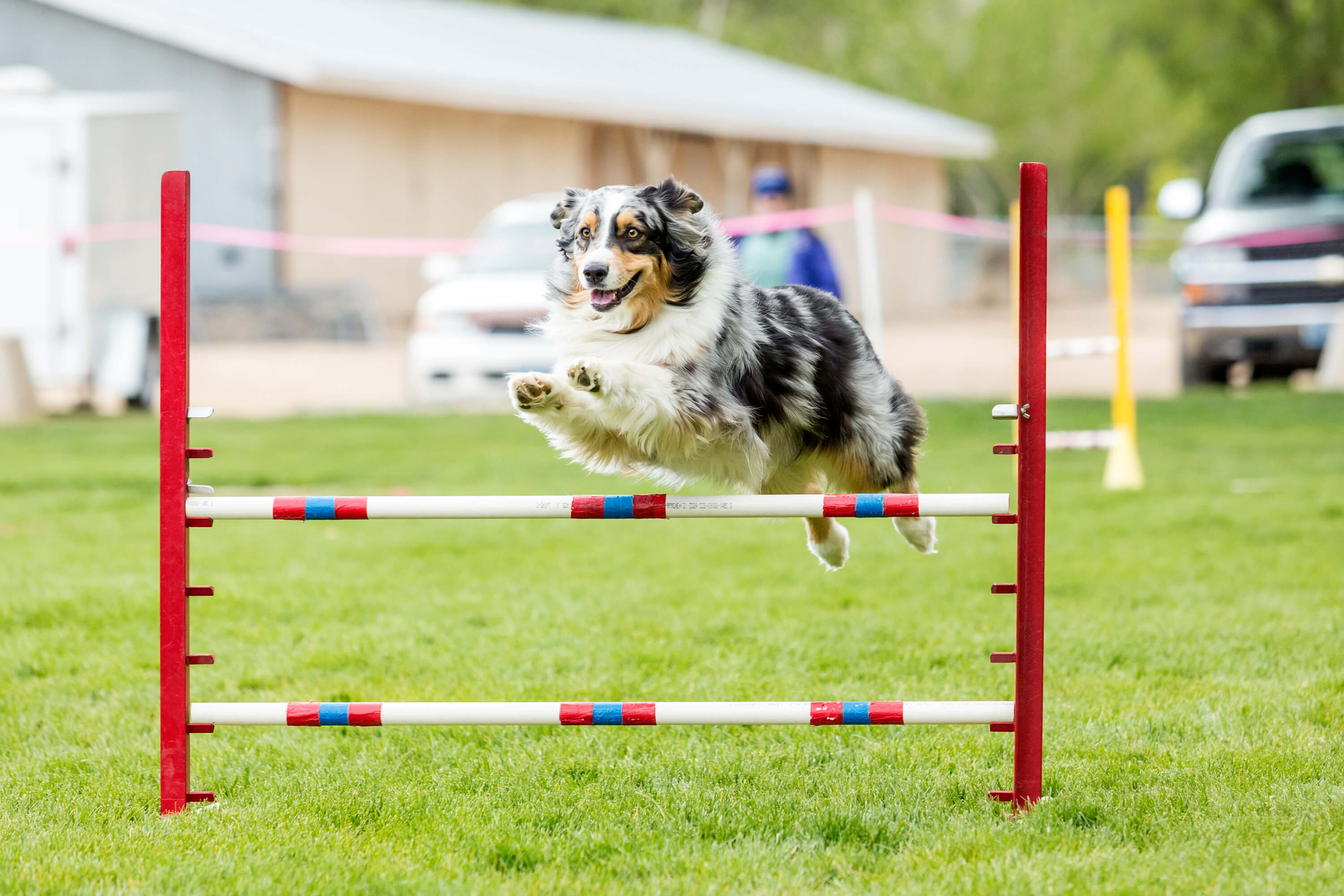An Australian Shepherd competing in an agility course.