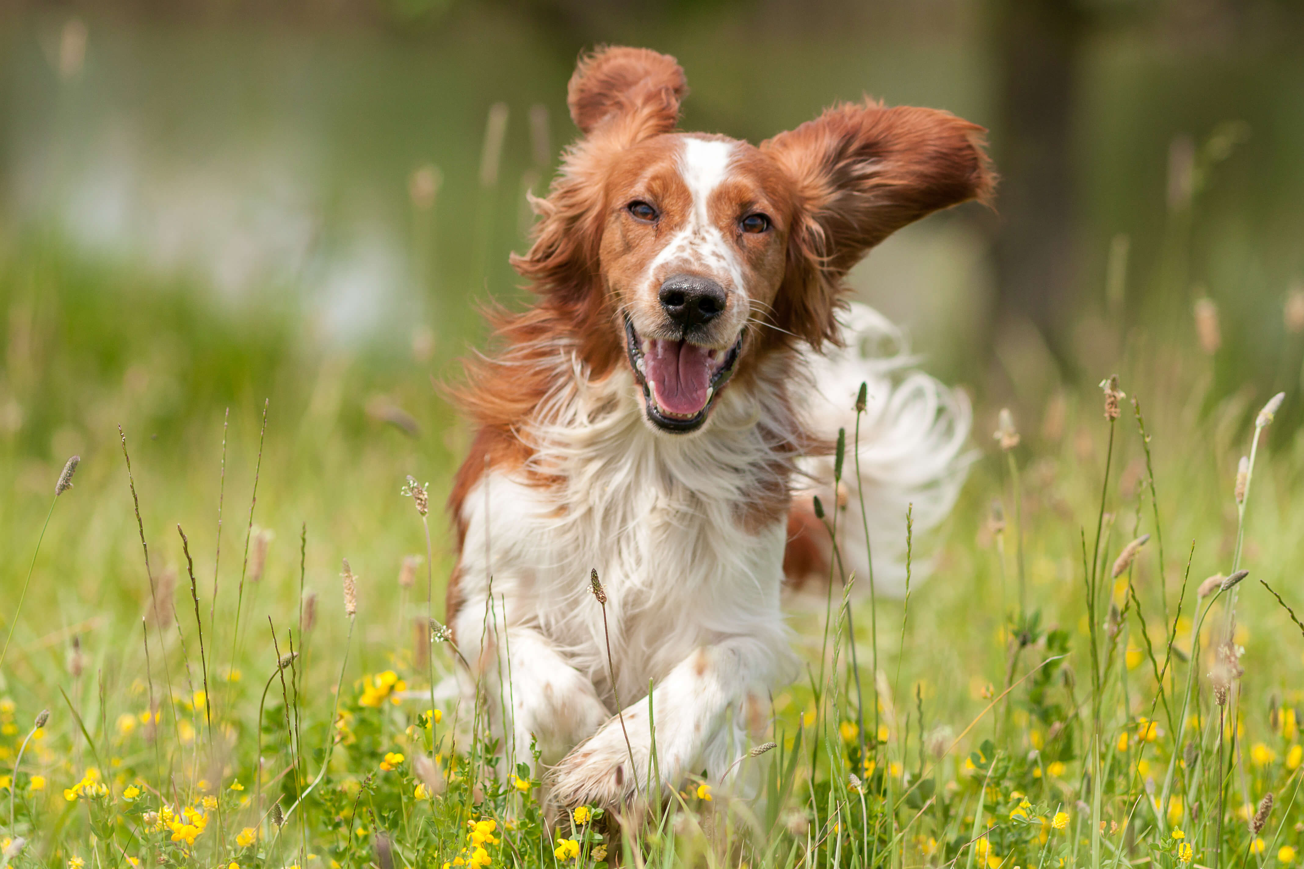 How to calm down a dog: a brown and white long-haired dog running through a field.