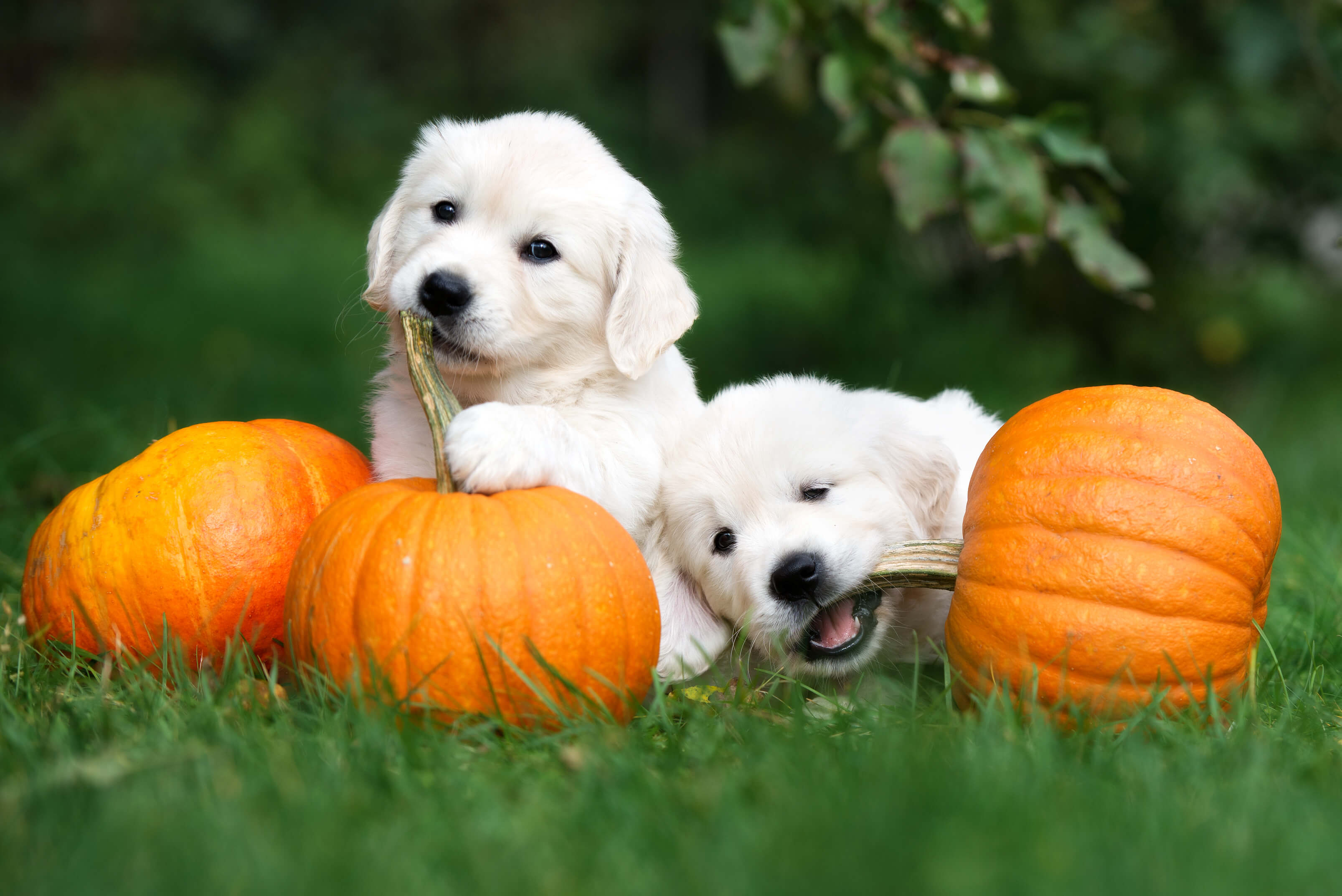 how much pumpkin do you give a dog