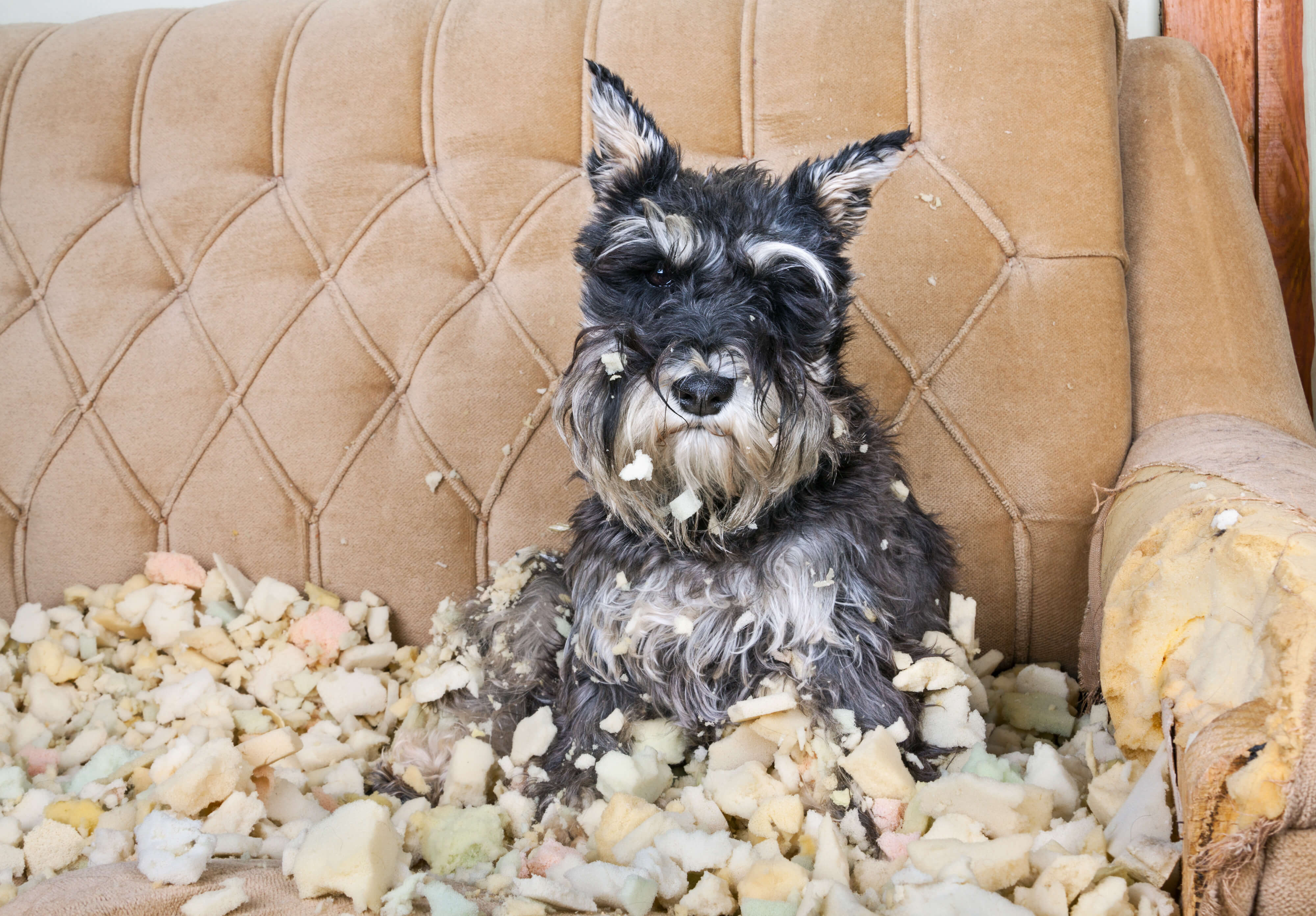 A miniature schnauzer sitting atop a destroyed couch.