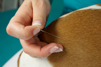 Acupuncture for Dogs: The Incredible Health Benefits
