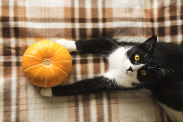 Pumpkin for Cats: Enjoy The Benefits Year Round