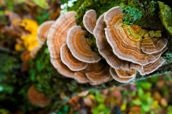 Turkey Tail Mushroom for Dogs