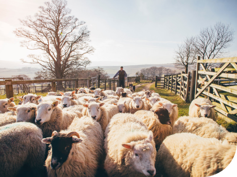 Sheep being herded through a gate by a farmer