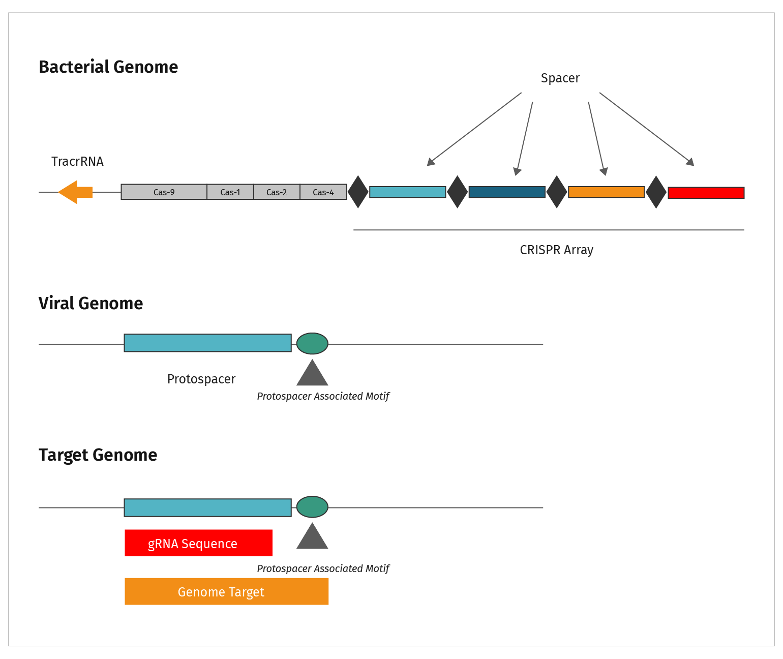 Figure 8: Diagram showing relationship of bacterial genome, to viral genome that must be defended against by CRISPR  and target genome that will be edited by CRIPSR