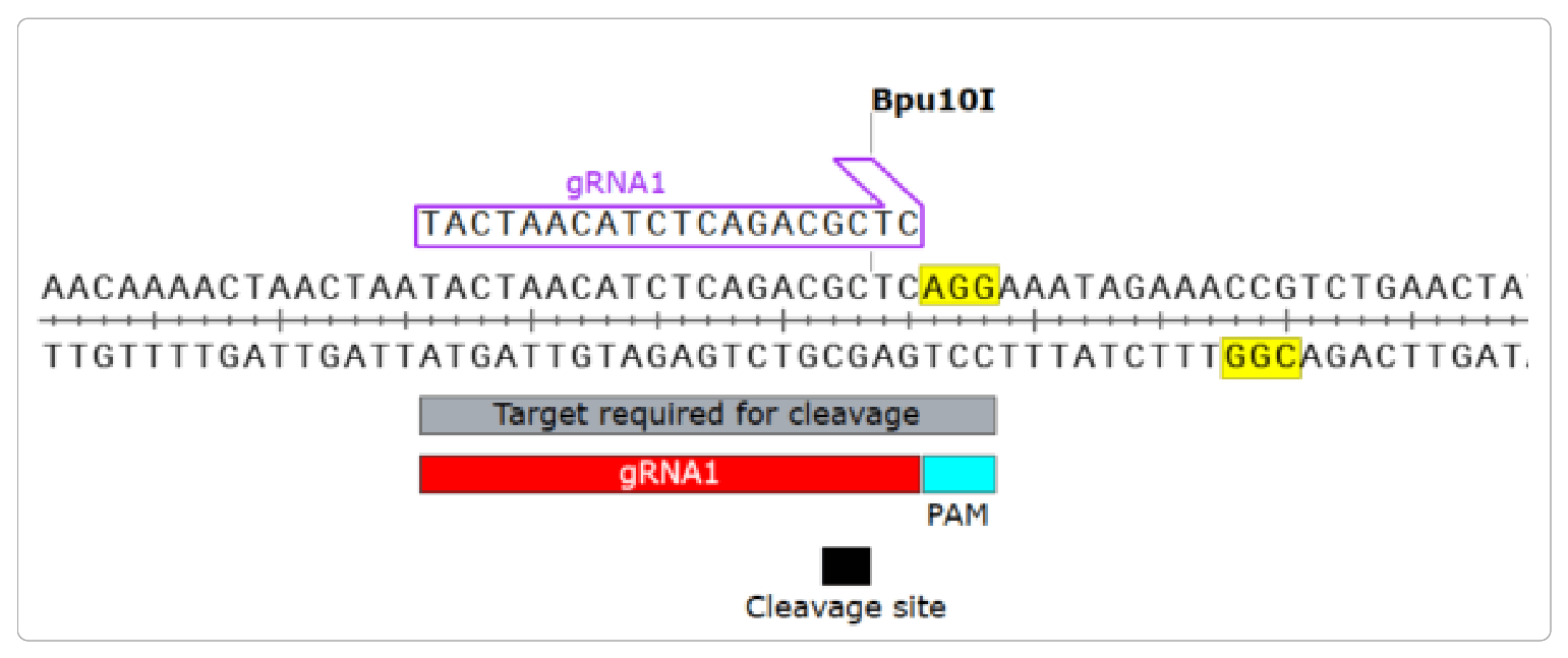 Figure 3: Sample CRISPR target sequence, gRNA and PAM site as annotated in SnapGene.