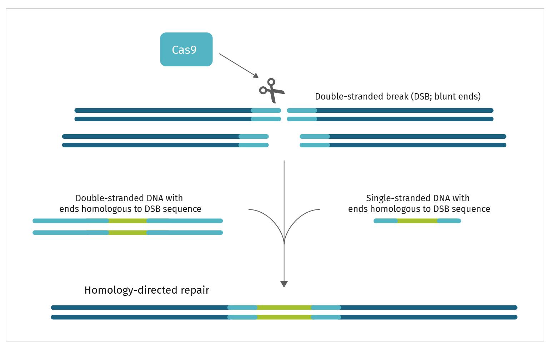 Figure 4: CRISPR repair target by a single gRNA