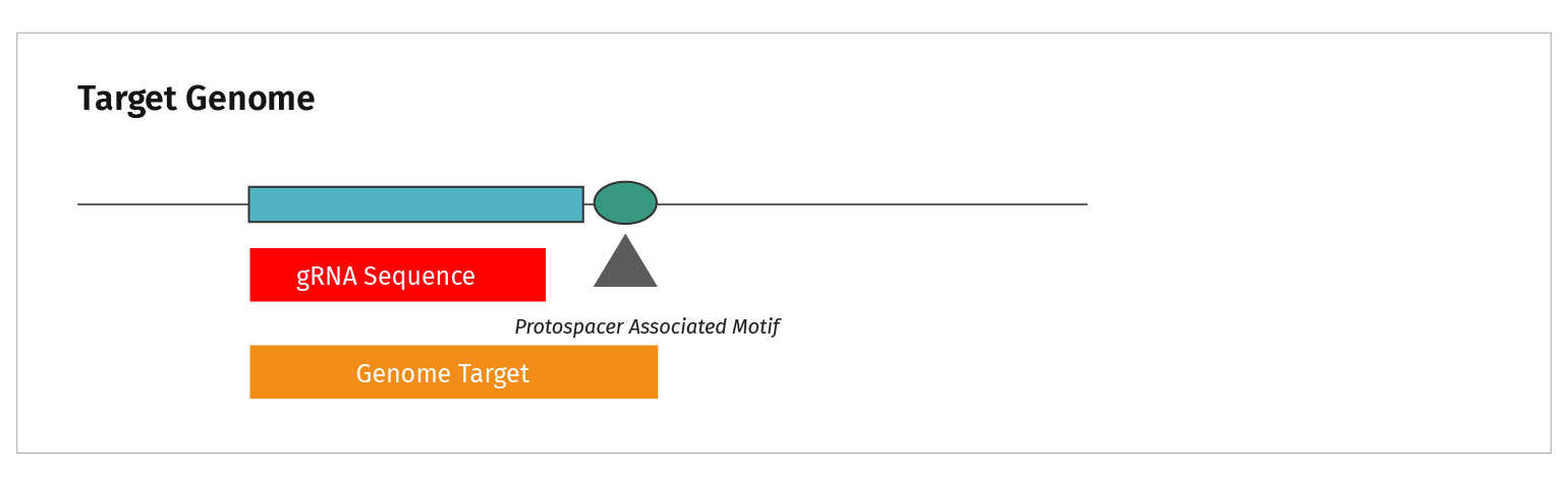 Figure 7: Diagram showing alignment of genomic target to gRNA sequence and PAM site.