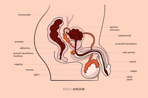 ilustracja budowa penisa