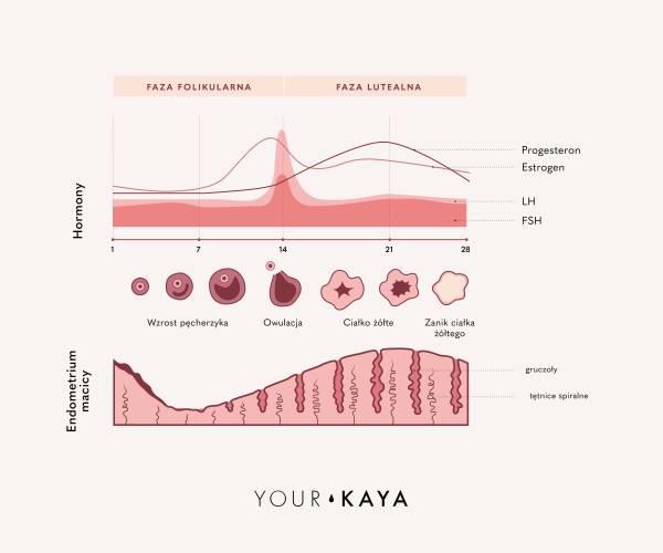 Ilustracja fazy cyklu menstruacyjnego
