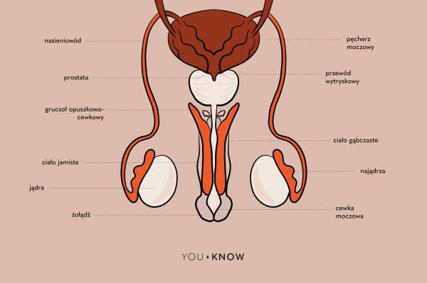 ilustracja - budowa penisa