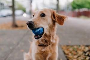 Puppy holding ball