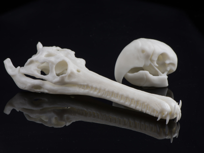 Bones printed in SOMOS resin