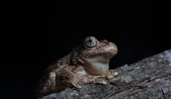 Emerald-spotted tree frog (Litoria peronii)