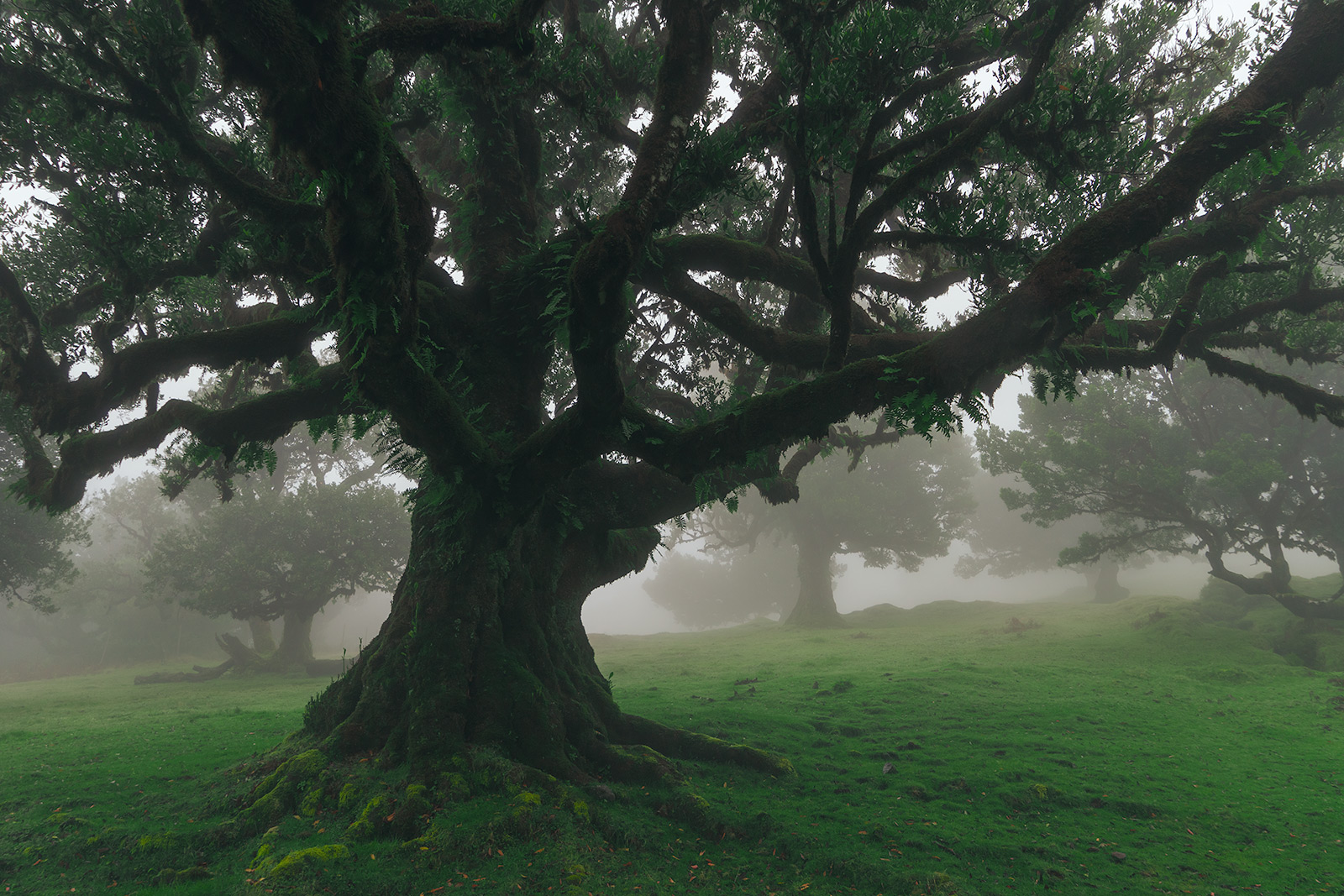 Mysterious Fanal Forest, Madeira