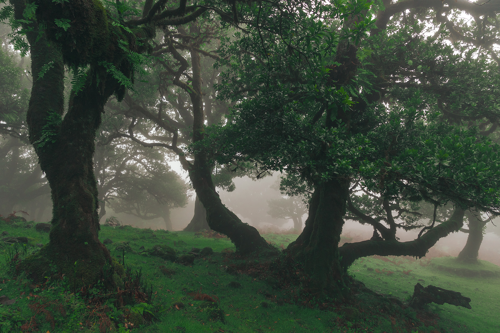 Foggy views at the Fanal Forest, Madeira