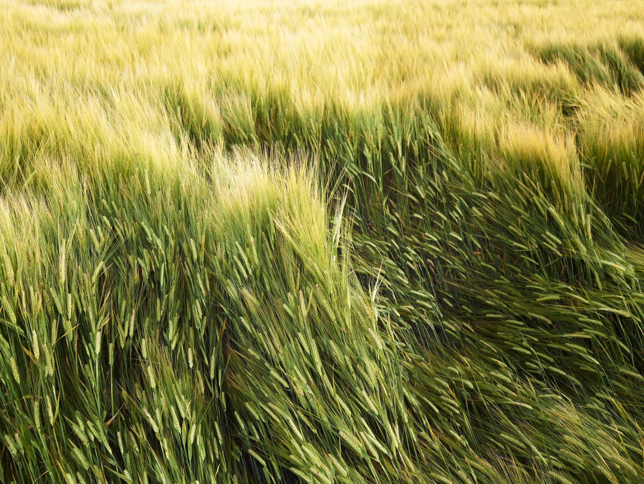 A close-up of grass blowing in the wind.