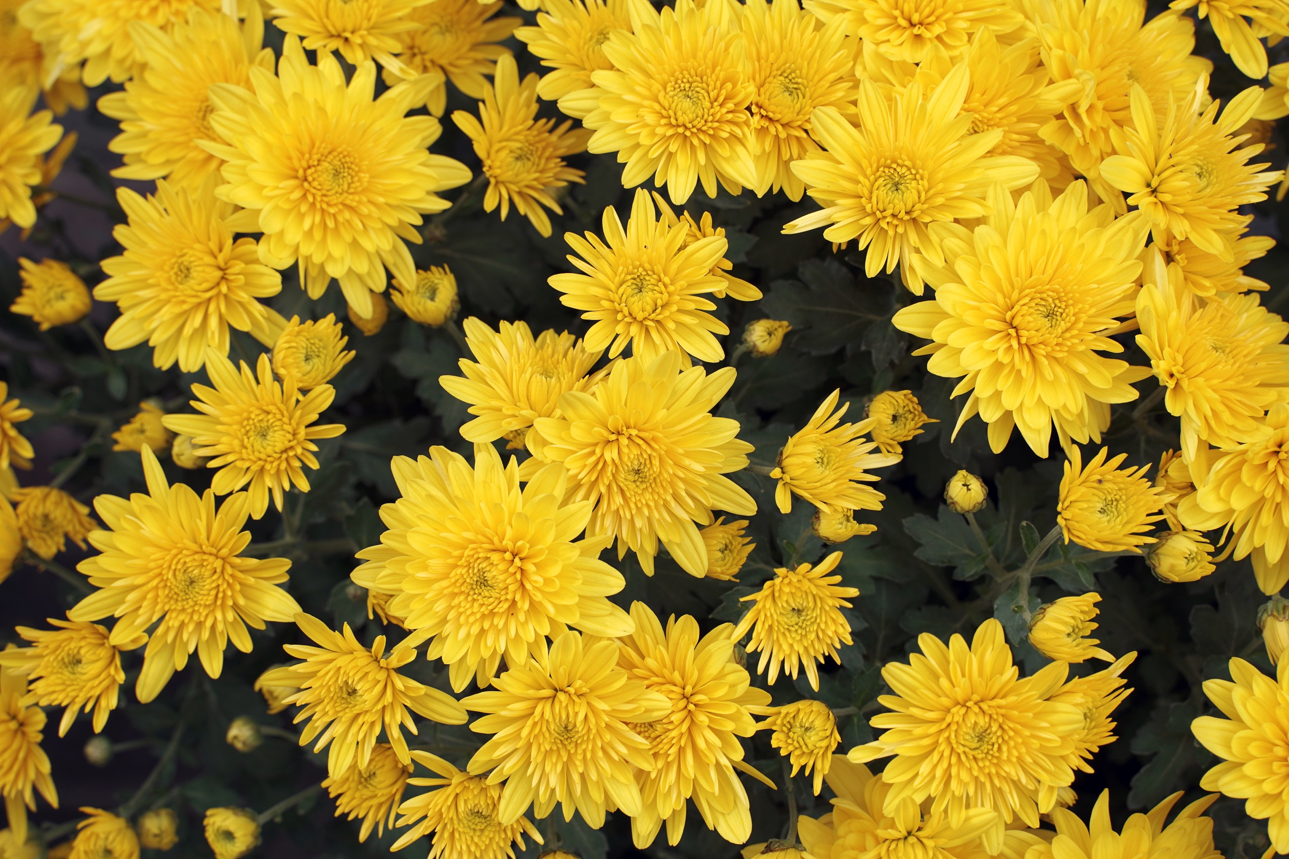A group of yellow flowers in bloom.