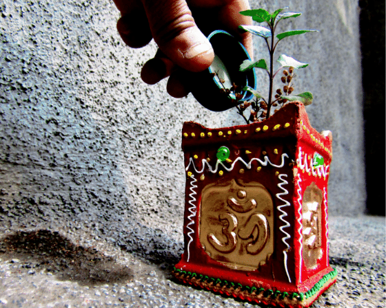 Tulsi also Called as Holy Basil