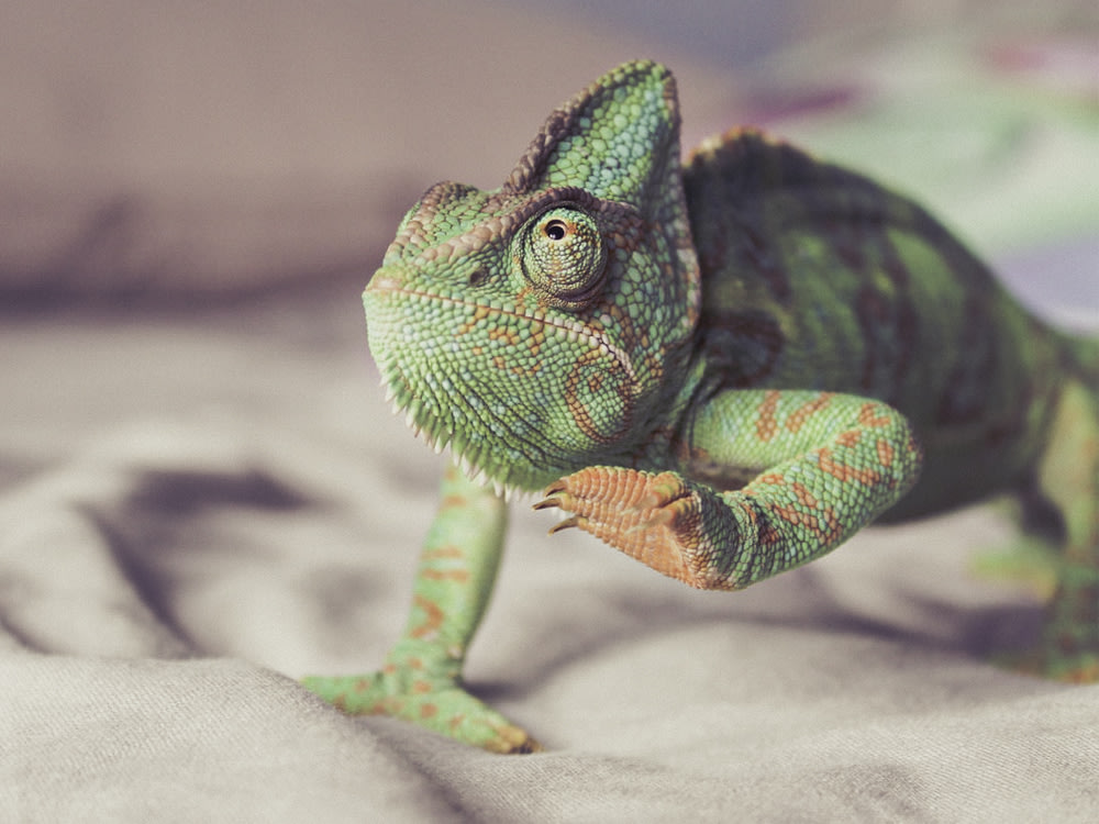 A green and orange chameleon with claw outstretched.