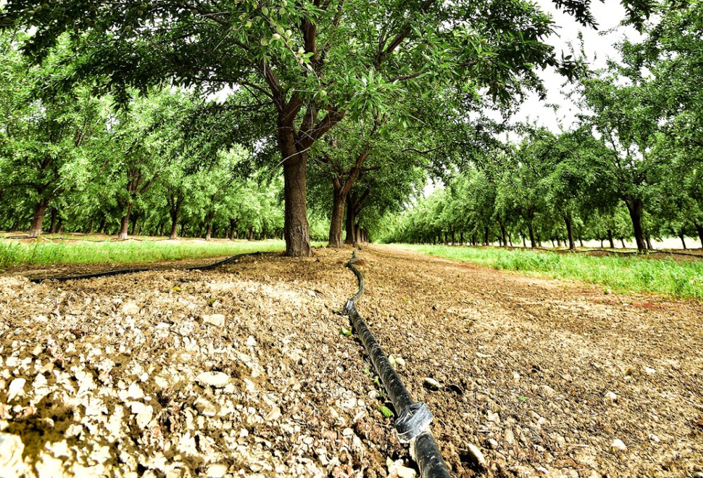 Using double drip irrigation on an almond farm.