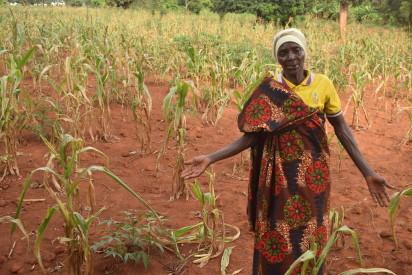 Champ de maïs détruit dans la colline de Gisenyi, commune Busoni février 2019