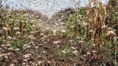 A locust infested farm in Somalia. Photo: FAO