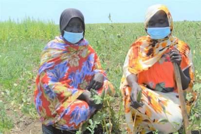 مزارعات نازحات يحصدن محاصيلهن في ولاية النيل الأزرق (منظمة الأغذية والزراعة، 2021)