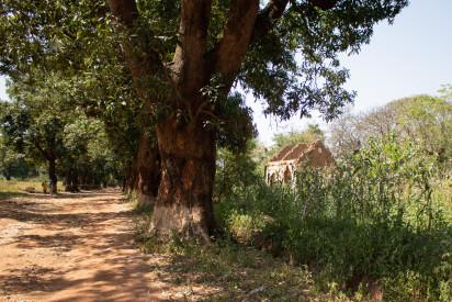 Les champs plantés entourent maintenant l'avenue principale abandonnée et bordée d'arbres qui avait été une voie principale de trafic entre les capitales du Tchad et de la République centrafricaine (N'Djamena et Bangui). Les PDI peuvent y marcher mais tous les bâtiments sont abandonnés après avoir été détruits. ©OCHA/Anne Kennedy, Batangafo, Préfécture de l'Ouham, RCA, 2020.