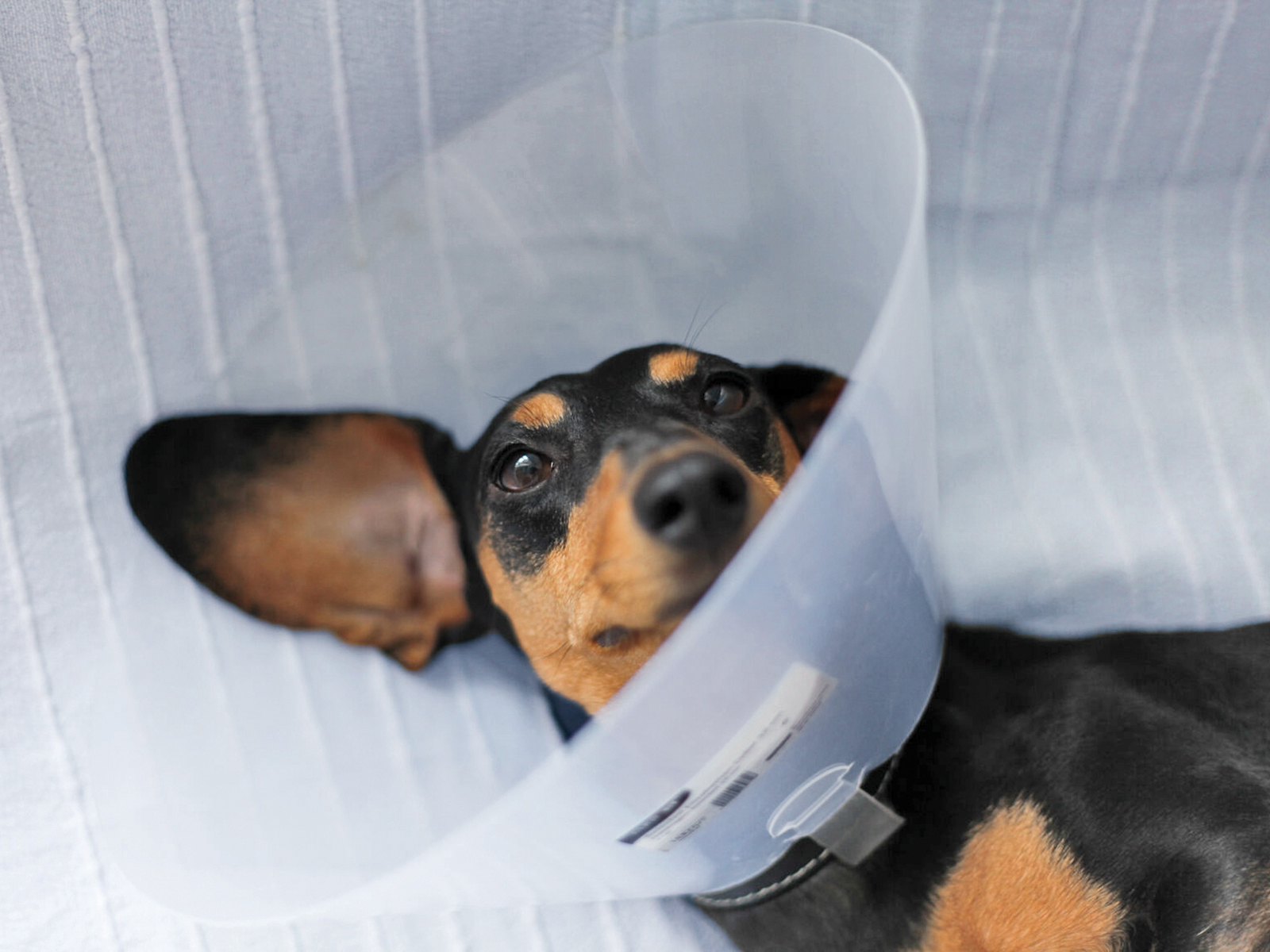 Dachsund wearing a cone post-medical procedure