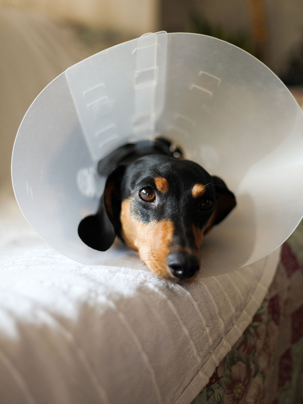 Dachsund wearing a cone post surgical procedure