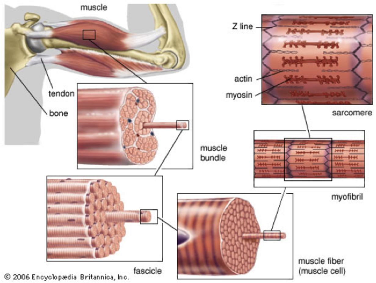 structure musculaire