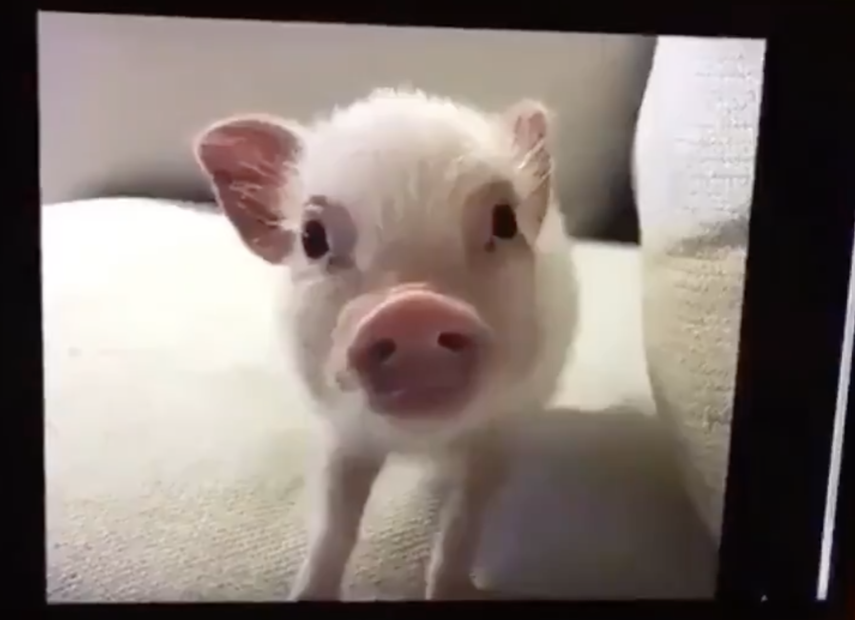 A tiny pig looking into the camera