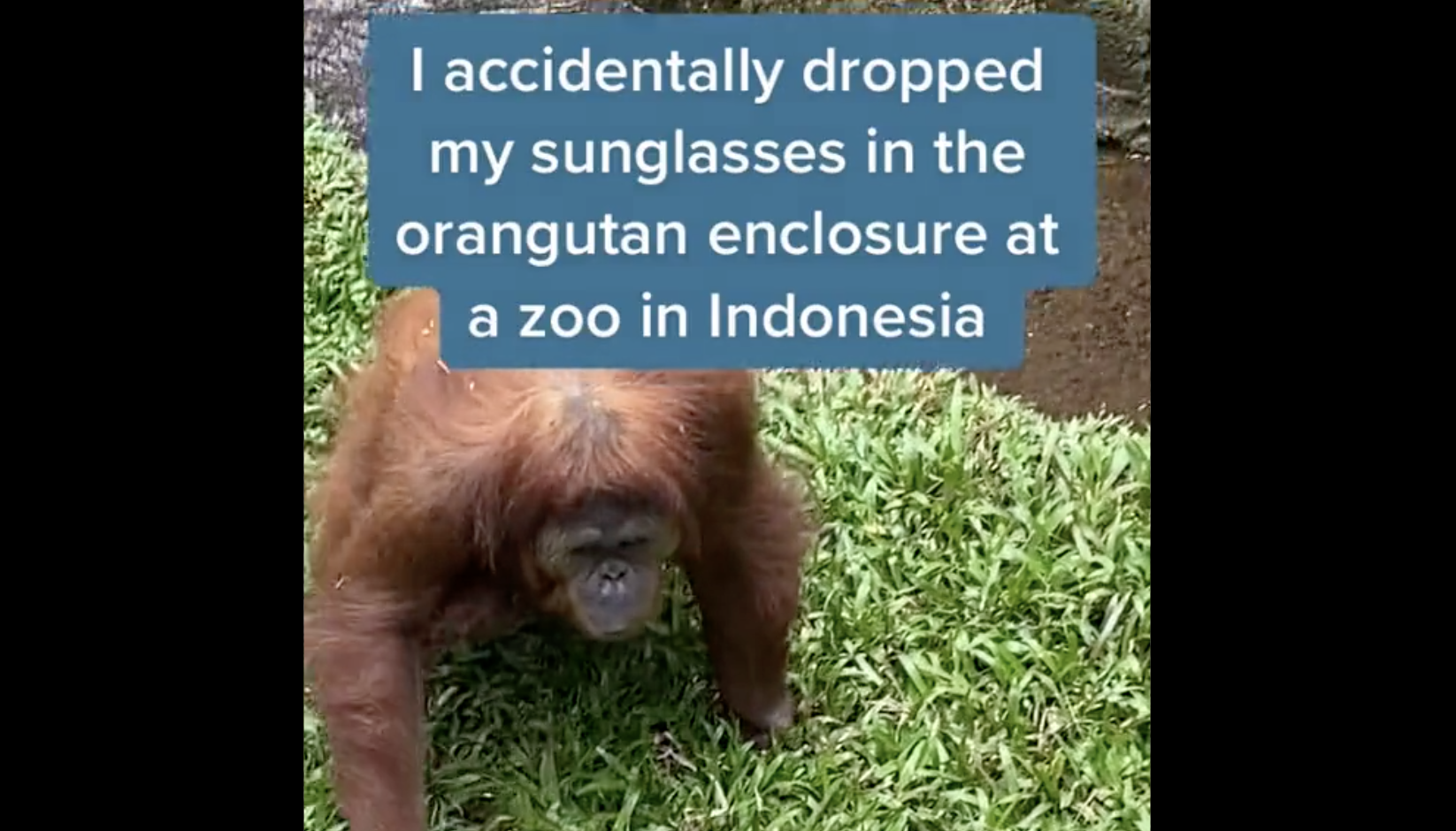 """Picture of an Orangutan paired with the headline """"I accidentally dropped my sunglasses in the orangutan enclosude at a zoo in indonesia"""""""