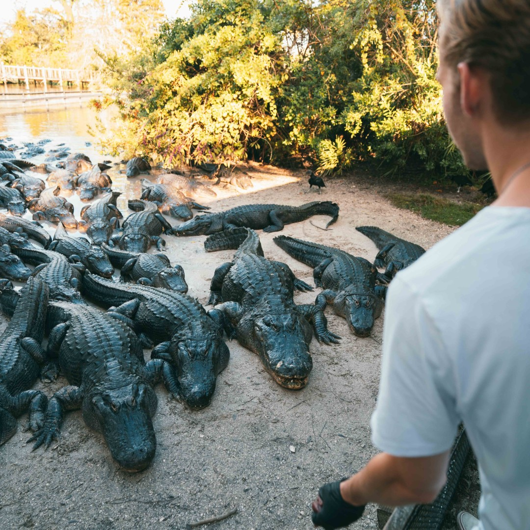 Swoop | a picture of a person feeding a lot of alligators in Gatorland Orlando Florida