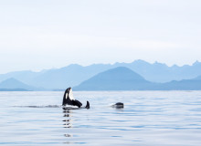 Swoop | an orca whale chilling in the water in Victoria British Columbia
