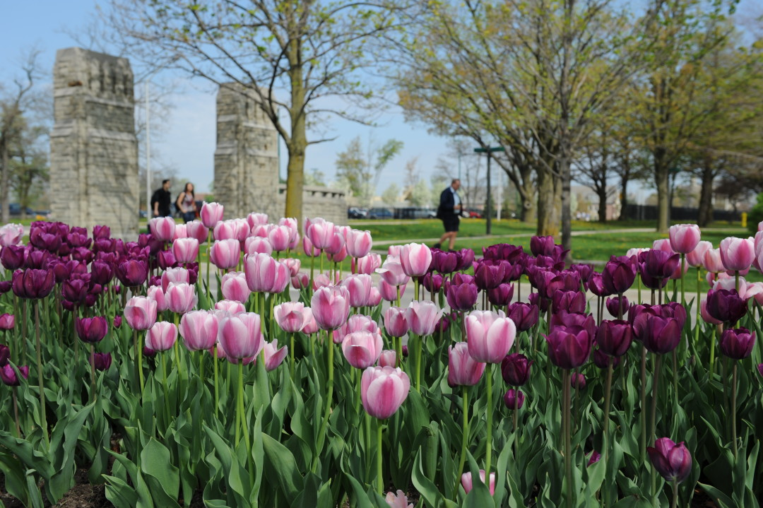 Swoop | picture of tulips outside of Western University in London, Ontario