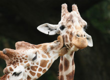 Swoop | a picture of two giraffes, one kissing the other in the African Lion Safari in Hamilton