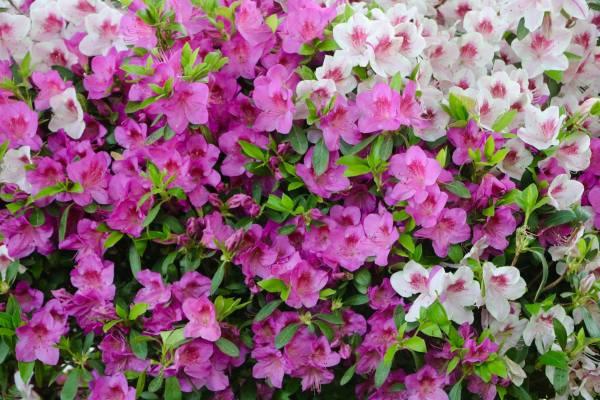 Potatura di arbusti sempreverdi a fioritura primaverile for Arbusti sempreverdi