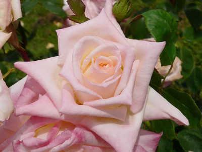 Dianna Princess of Wales (PBR) (85cm) rose
