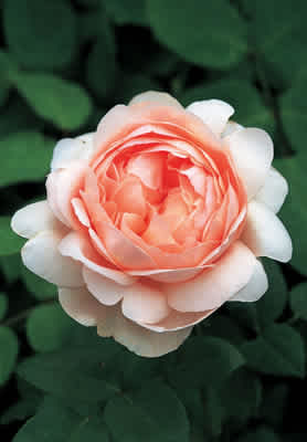 Ambridge Rose (Auswonder) (PBR)  rose