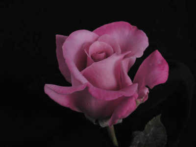Lilac Time rose