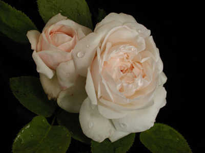 Fair Bianca (PBR) (85cm) rose