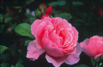 Brother Cadfael (Ausglobe) rose